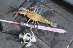 Pescador esportivo fisga especie exotica de camarao em Iguape-SP