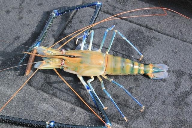 Pescador esportivo fisga  especie exotica de camarao em Iguape-SP 3