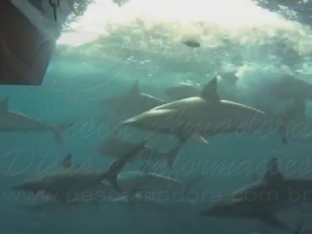 Pescador filma tubaroes seguindo sua embarcacao