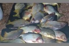 Pescador profissional e preso com 40 kg de pacu fora da medida no MS