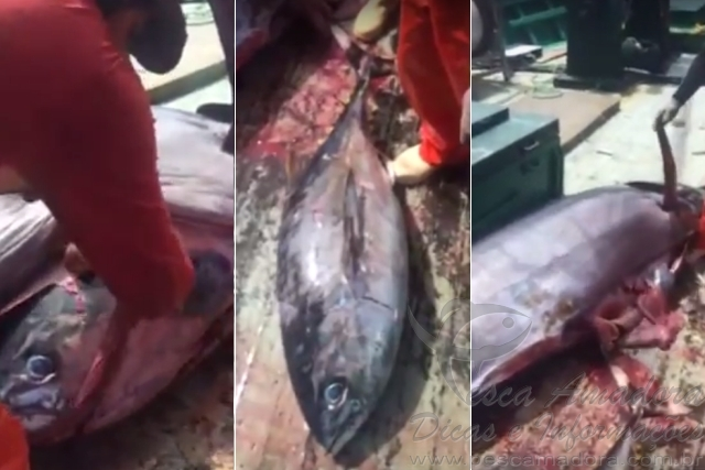 Pescador retira atum de 22 kg de dentro de um Marlin de 285 kg