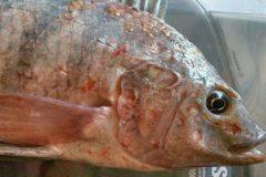pescadores-denunciam-deformacao-de-peixes-na-foz-do-rio-doce