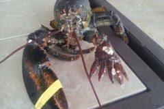 Pescadores encontram lagosta com seis pincas nos Estados Unidos