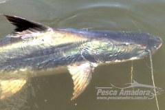 Pescadores estao confundindo filhote de piraiba e barbado no Teles Pires-MT