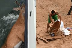 Pescadores resgatam cervo no mar em Long Island-Nova York