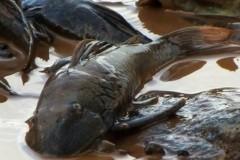 Pessoas se organizam para resgatar peixes do Rio Doce no ES 4