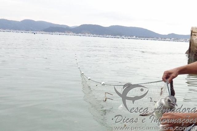 Pinguin preso em rede ilegal em praia de Santa Catarina