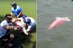 pirarucu-morre-apos-ser-capturado-em-campeonato-de-pesca-irregular-na-lagoa-grande-de-porangatu-go