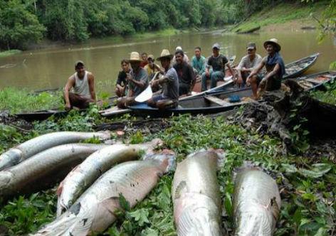 Plano Safra na Amazonia usa o pirarucu