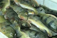 Policia apreende mais de duas toneladas de pescado ilegal no Tocantins 4