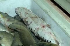 Policia apreende mais de duas toneladas de pescado ilegal no Tocantins 5