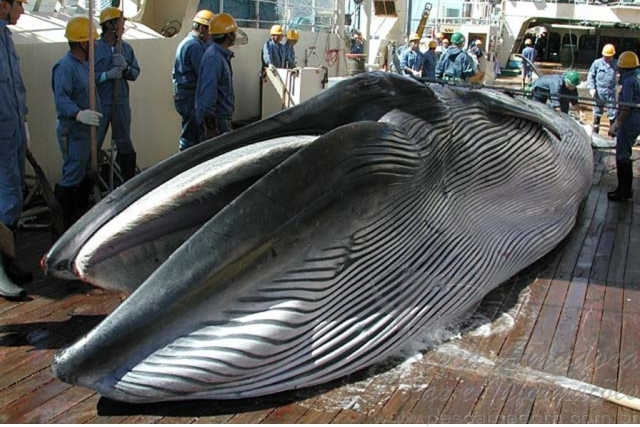 Por que os japoneses pescam baleias se o consumo e baixo