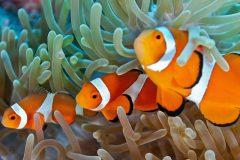 Procurando Nemo - Sobrepesca de peixes de corais de recife -Peixe-palhaco
