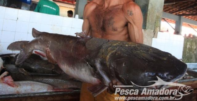 Proibicao da Pesca da gurijuba preocupa pescadores no Para - capa