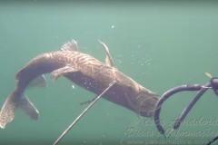 Proibido a pesca subaquatica de especie nativa 1