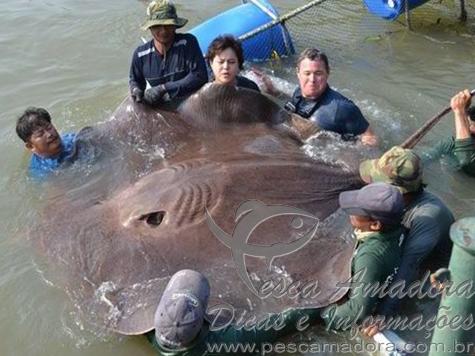 Raia gigante fisgada na tailandia