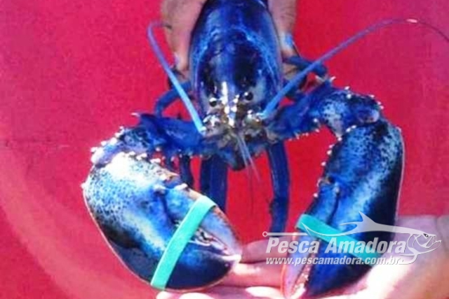 Rara lagosta azul e pescada nos Estados Unidos
