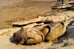 Rejeitos de mineradora dizima peixes no Rio Doce em MG 2
