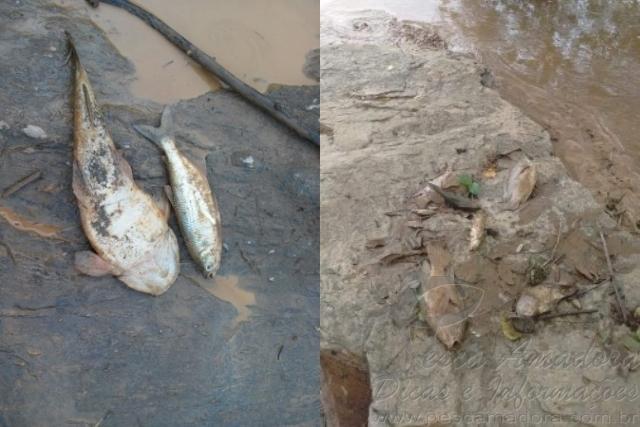 Rejeitos de mineradora dizima peixes no Rio Doce em MG 3