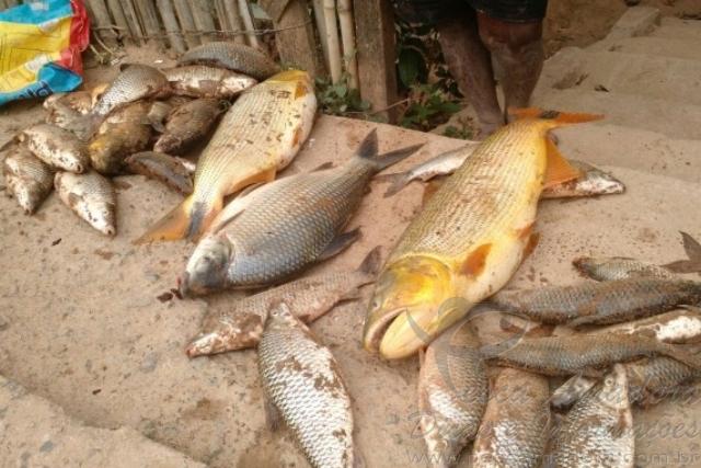 Rejeitos de mineradora dizima peixes no Rio Doce em MG