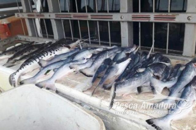 sema-apreende-pescado-ilegal-durante-operacao-nortao-em-mt