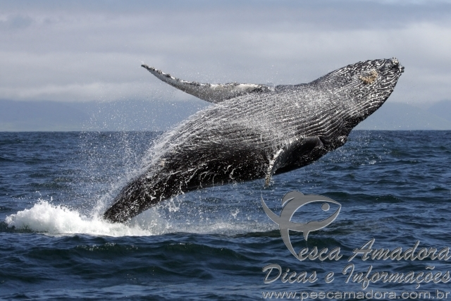 Salto de baleia jubarte