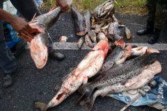 Sema apreende 200 kg de pescado ilegal no Rio Culuene em MT