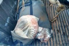 Sema apreende 55 kg de pintado e cachara durante fiscalizacao no MT
