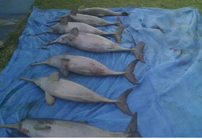 Sete toninhas sap encontradas mortas em Peruibe-SP