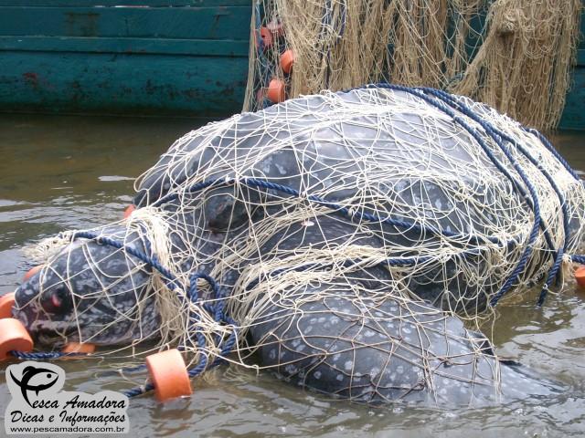 Sobrepesca - Tartaruga presa em rede de arrasto