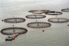 Surto de algas mata mais de 25 milhoes de salmoes no Chile