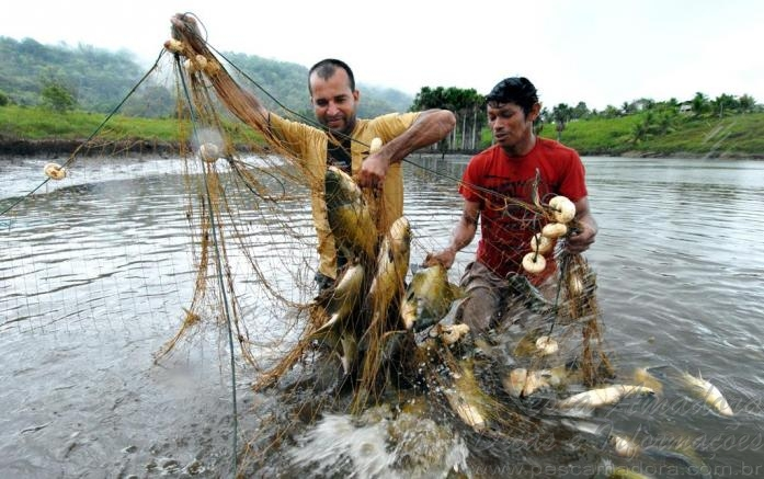 Tambaqui de cativeiro no Amazonas