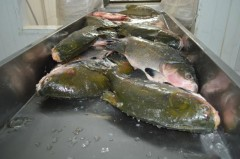 Tambaqui e um dos peixes de Rondonia