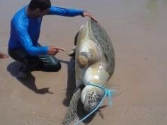 Tartaruga de 100 kg aparece morta em PE