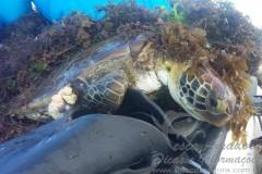 Tartaruga presa em rede em Alagoas