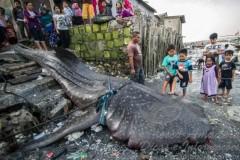 Tubarao-baleia de 7 m foi abatido na Indonesia