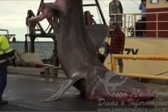 Tubarao raro e pescado acidentalmente na Australia