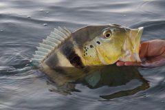 tucunare-pesque-e-solte