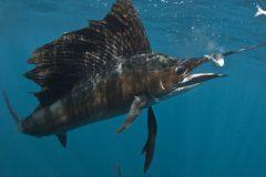 turismo-de-pesca-esportiva-10-especies-esportivas-encontradas-no-brasil-agulhao-vela