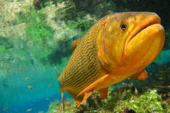turismo-de-pesca-esportiva-10-especies-esportivas-encontradas-no-brasil-dourado