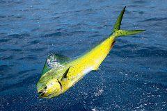 turismo-de-pesca-esportiva-10-especies-esportivas-encontradas-no-brasil-dourado-do-mar