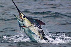 turismo-de-pesca-esportiva-10-especies-esportivas-encontradas-no-brasil-marlin-azul