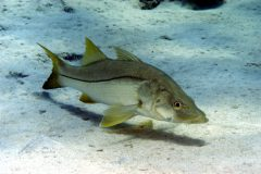 turismo-de-pesca-esportiva-10-especies-esportivas-encontradas-no-brasil-robalo