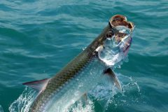 turismo-de-pesca-esportiva-10-especies-esportivas-encontradas-no-brasil-tarpon