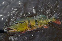 turismo-de-pesca-esportiva-10-especies-esportivas-encontradas-no-brasil-tucunare