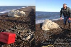Urso e resgatado de rede de pesca no alasca