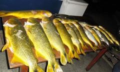 apreensao dourados pesca sub
