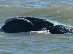 baleia-franca-com -rede-de-pesca