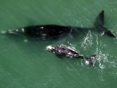 Baleia franca com o filhote em Santa Catarina