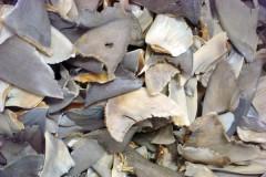 barbatanas de tubarao
